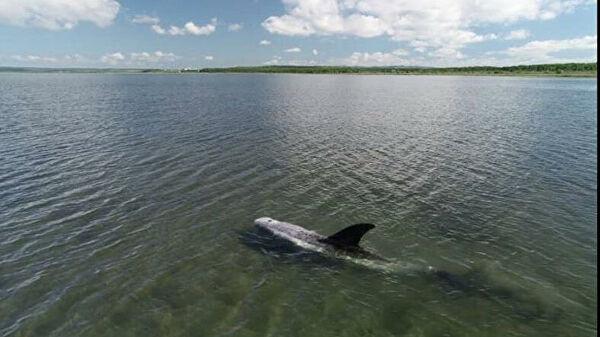 В-Приморье-спасли-краснокнижного-серого-дельфина-из-иловой-ловушки