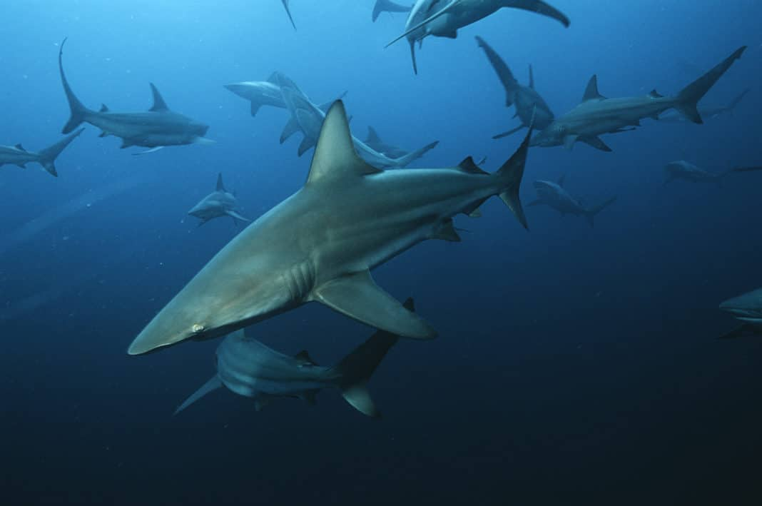 sharks-'functionally-extinct'-from-20%-of-the-world's-reefs