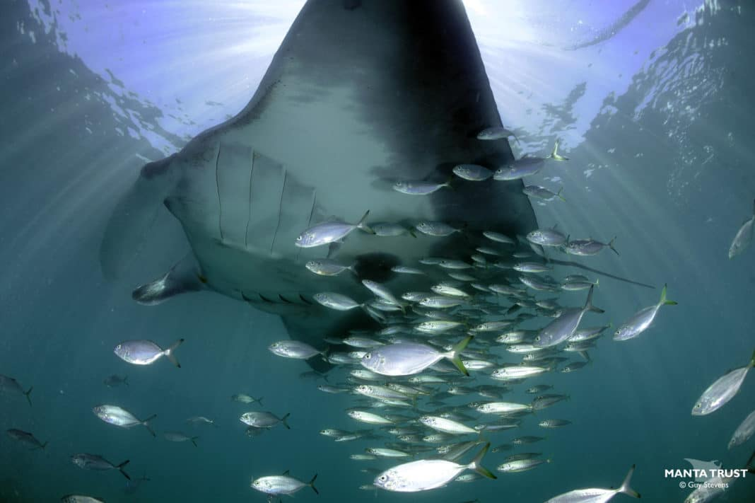 meet-the-giant-manta-rays-of-the-mexican-caribbean-sea