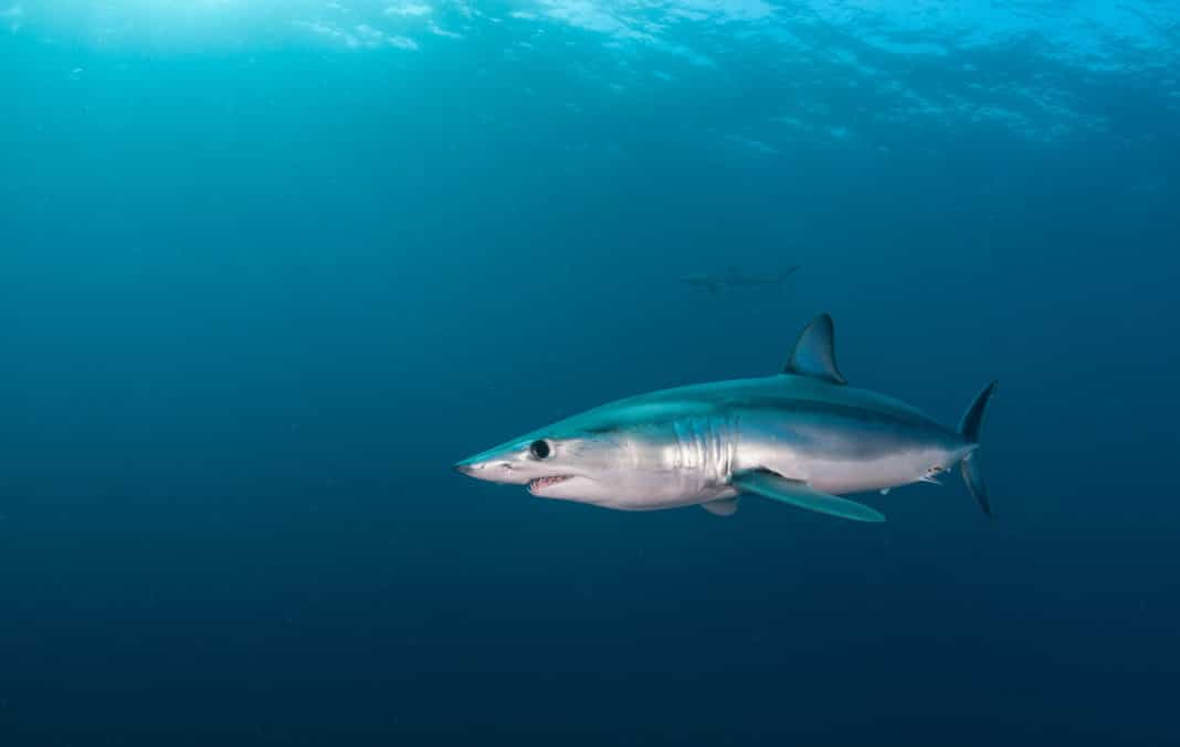 project-aware-drumming-up-support-for-helping-mako-sharks