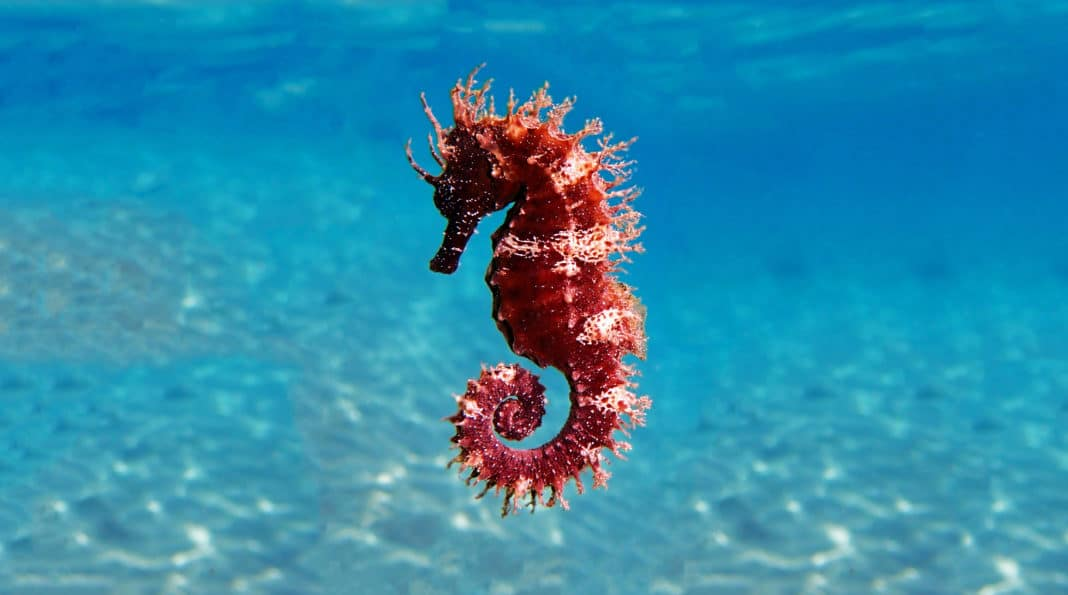 could-seahorses-be-at-risk-of-extinction?